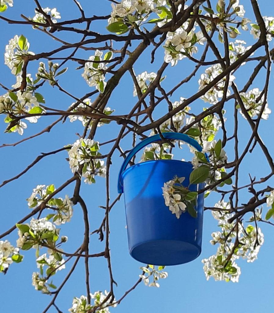 plava kofica za rutave bube cvetojed